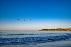 Pelicans Grace the Skies. The brown pelicans are excellent flyers. They grace the skies at Carmel Beach in California royalty free stock images