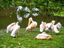 Pelicans. Group of pelicans in front of the lake royalty free stock image