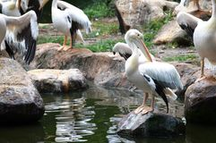 Pelicans Group Royalty Free Stock Image