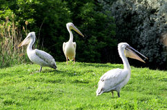 Pelicans. Group of pelicans on green grass island royalty free stock photography