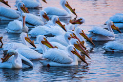 Pelicans in a Group. A large group of pelicans swim, fish, and stand in teh water royalty free stock image