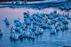 Pelicans in a Group. A large group of pelicans swim, fish, and stand in teh water stock photos