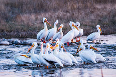 Pelicans in a Group. A large group of pelicans swim, fish, and stand in teh water royalty free stock images