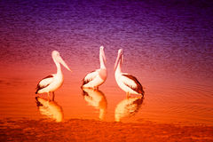 Pelicans. Group of three pelicans at the shore during sunset Stock Images