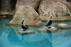 Pelicans. Group of pelicans in a zoo Stock Images