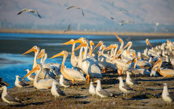 Pelicans and Gulls on levee; Alviso, CA Stock Images