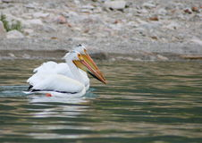 Pelicans Hanging Together Stock Image