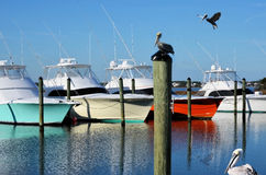 Pelicans in the Harbor Colorful Yachts Luxury Royalty Free Stock Photos