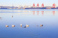 Pelicans In Harbor Royalty Free Stock Photos