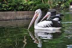 Pelicans. Having their routine royalty free stock photography