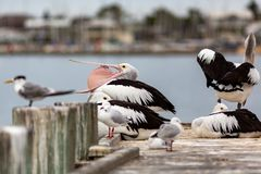 Pelicans on Hectors Jetty on the Fleurieu Peninsula Goolwa South Australia on 3rd April 2019 royalty free stock photography