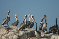 Pelicans on Hen Rock 5235 Stock Image
