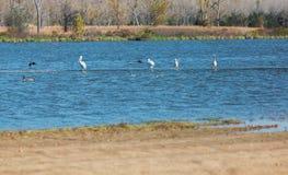 Pelicans and herons at Milford Lake. Pelicans and blue herons on a rope at Milford Lake, Kansas royalty free stock photos
