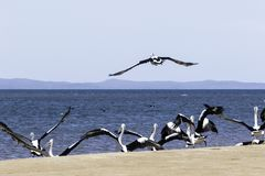 Pelicans At Hervey Bay, QLD. A flock of Pelicans on the coast of Hervey Bay, Queensland Australia stock photo