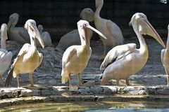 Are pelicans hungry? stock photo