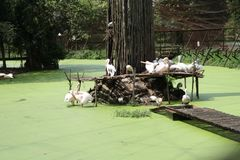Pelicans on an idle summer day. Pelicans were taking rest on a hot summer day in the afternoon stock images
