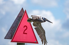 Pelicans ignore signs. The Brown Pelicans ignore signs Royalty Free Stock Image