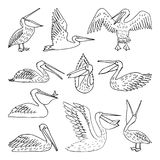 Pelicans, illustration, vector. Pelican pattern, texture design vector illustration. set Royalty Free Stock Image