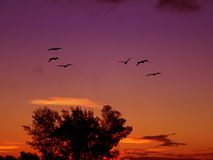 Free Pelicans In Flight Stock Images - 1589244