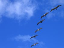 Pelicans In Flight Stock Photos