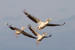 Free Pelicans In Flight Stock Image - 32816801