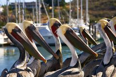 Pelicans In San Carlos, Sonora Mexico Royalty Free Stock Photos