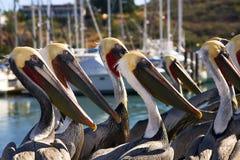 Pelicans In San Carlos, Sonora Mexico Royalty Free Stock Photos