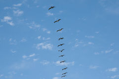 Free Pelicans In Single Row Flight - Vina Del Mar - Chile Stock Photos - 95540563