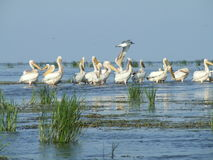 Pelicans In The Danube Delta Stock Photo
