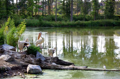 Free Pelicans In The Lake Royalty Free Stock Photography - 1113347