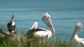 Pelicans interacting with each other medium shot