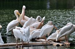 Pelicans on lake Stock Photos