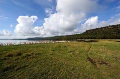 Pelicans and lake. Pelicans around in Nakuru lake Kenya stock image