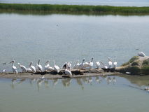 Pelicans. On Lake Chapala in Mexico Royalty Free Stock Photography