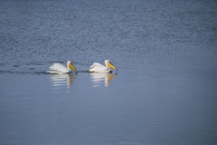 Pelicans on the lake. Floating pelicans in srael on the lake Agmon Royalty Free Stock Photos