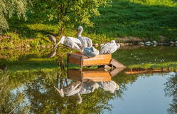 Pelicans on the lake. Flock of Pelicans on the lake in the park and their reflection in water Stock Photography