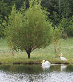 Pelicans on lake with geese. White Pelicans on lake in Sherwood park alberta canada royalty free stock images