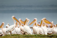 Pelicans at the Lake. Pelicans huddled together at the edge of Lake Nakuru in Kenya, with dark grey skies behind them, complimenting their soft white feathers royalty free stock photo