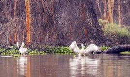 Pelicans on the lake. Kenya acacia logs at the bottom Royalty Free Stock Photography