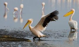 Pelicans on the lake. Lake Nakuru. Kenya. Africa. Royalty Free Stock Photos