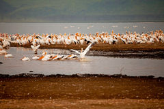 Pelicans in Lake Nakuru Royalty Free Stock Photos
