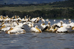 Pelicans in lake nakuru Royalty Free Stock Photo