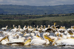 Pelicans in lake nakuru Royalty Free Stock Images