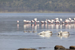 Pelicans at Lake Nakuru, Kenya Stock Images