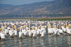 Pelicans at Lake Nakuru, Kenya Stock Photography