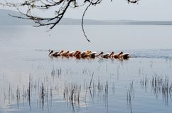 Pelicans on a lake Royalty Free Stock Photography