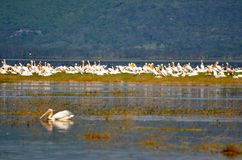 Pelicans on Lake royalty free stock image