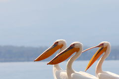 Pelicans. Lake Nakuru National park, Kenya, Africa stock photography