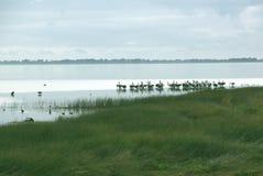 Pelicans in lake near Johanna Beach, Australia. Australian pelicans resting on shore of lake Royalty Free Stock Image