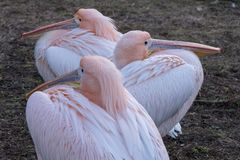 Colourful pelicans by the lake in St James`s Park, London UK. stock photos
